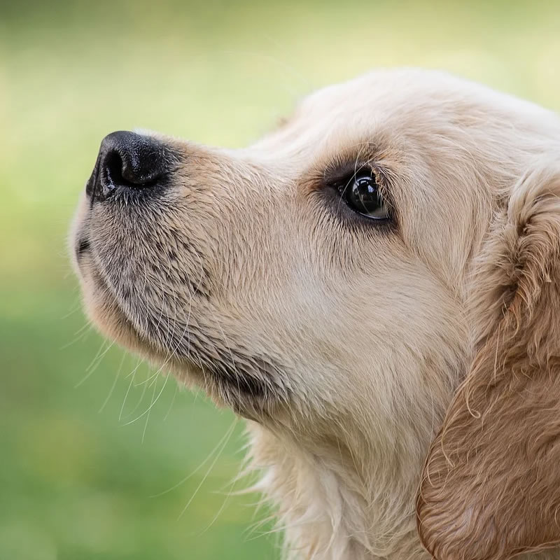 Familiehund racer